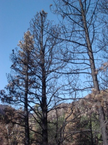 Burnt trees in Poudre Canyon.