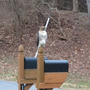 A Hawk Surveys Its Domain
